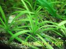 Эхинодорус тенелус (Echinodorus tenellus)