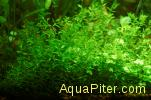 Хемиантус микрантемоидес (Hemianthus micranthemoides)