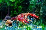 Рак флоридский (красный) Procambarus Clarkii