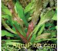 Эхинодорус Питон (в горшочке) Echinodorus Python