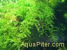 Мох Восточный Калимантан №454 Moss sp. East Kalimantan №454