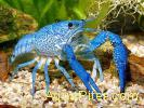 Флоридский синий рак (Procambarus alleni)