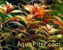Прозерпинака Proserpinaca palustris