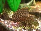 Птеригоплихт (Pterygoplichthys gibbiceps)