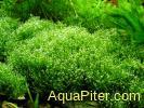 Риччия Амано (Тонущая) Riccia fluitans spec.
