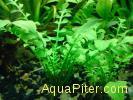 Жерушник водный (Rorippa aquatica)