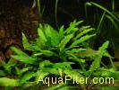 Криптокорина Вендта зеленая (Cryptocoryne wendtii 'Green')