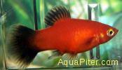 Пецилия рубин чернохвостая (Xiphophorus maculatus)