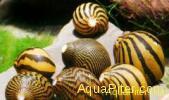 """Улитка Зебра """"Neritina natalensis sp. """"Zebra"""""""