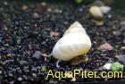 Улитка филопалюдина Мартенси белая (filopaludina Martensi)