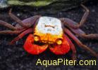 Краб Карнавальный Rainbow Vampire Crab (Geosesarma rouxi)