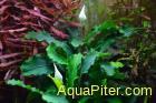 Буцефаландра зеленая Волнистый лист