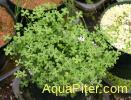 Марсилия Ангустифолия (Marsilea angustifolia)
