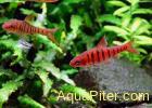 Барбус синештриховый (Puntius barilioides) барбус-тигр