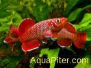 Нотобранхиус Кортхауса красный Nothobranchius korthausae Red