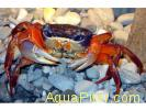 Краб радужный (Rainbow crab)